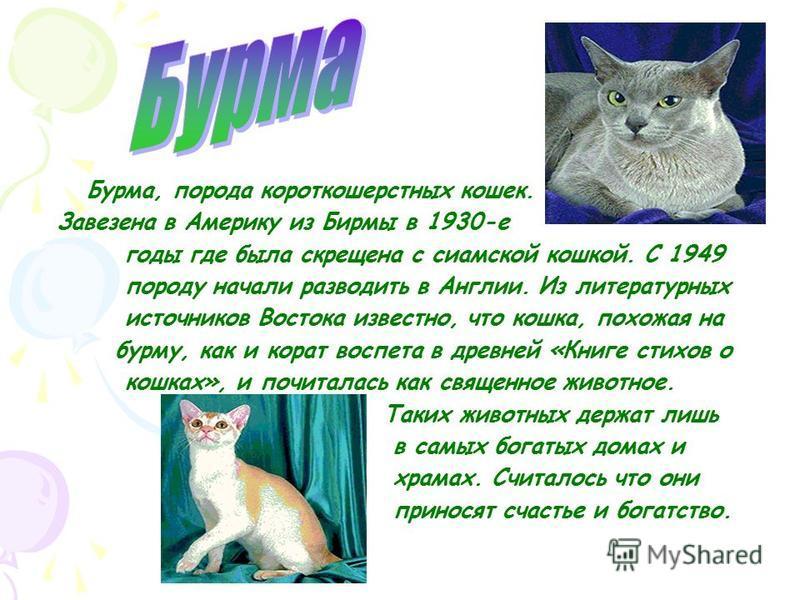 Британская короткошерстная кошка порода домашних кошек выведена в Великобритании во второй половине 19 века путём скрещивания английских домашних кошек с персидскими.