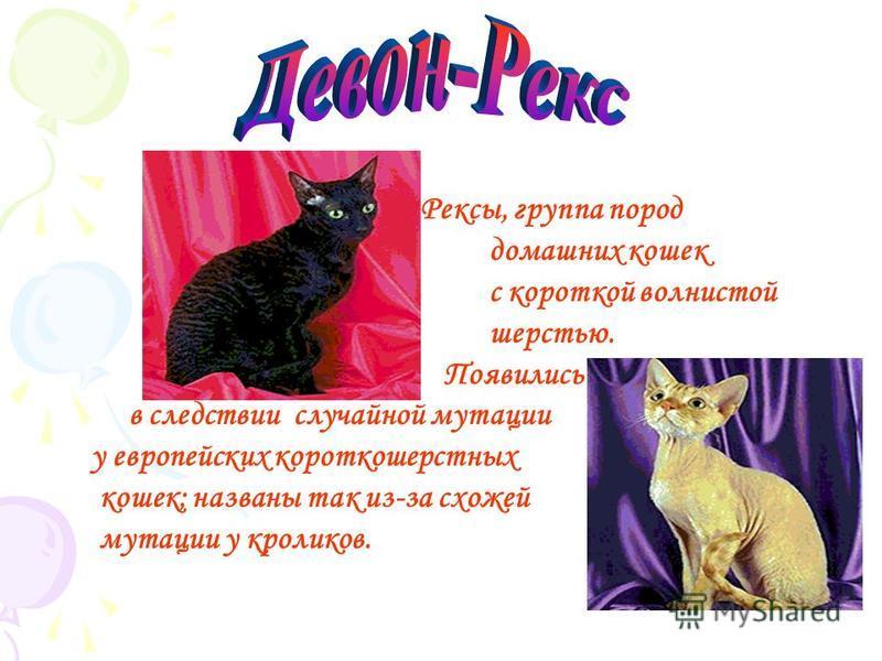 Бурма, порода короткошерстных кошек. Завезена в Америку из Бирмы в 1930-е годы где была скрещена с сиамской кошкой. С 1949 породу начали разводить в Англии. Из литературных источников Востока известно, что кошка, похожая на бурму, как и карат воспета