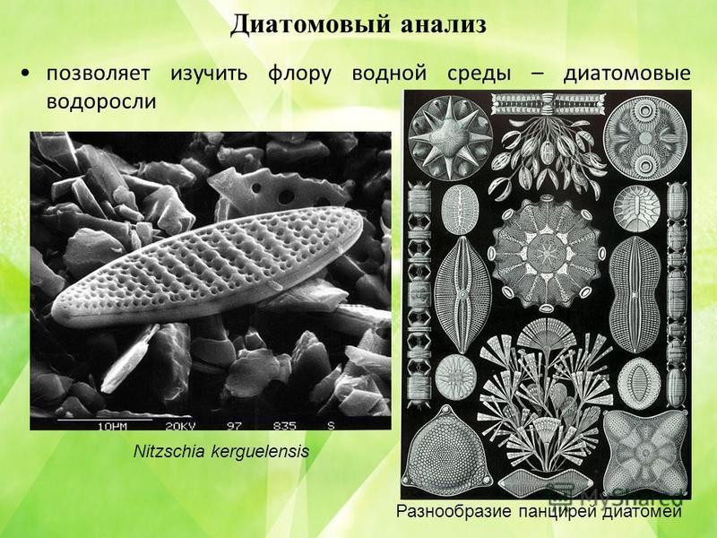 Диатомовый анализ позволяет изучить флору водной среды – диатомовые водоросли Nitzschia kerguelensis Разнообразие панцирей диатомей