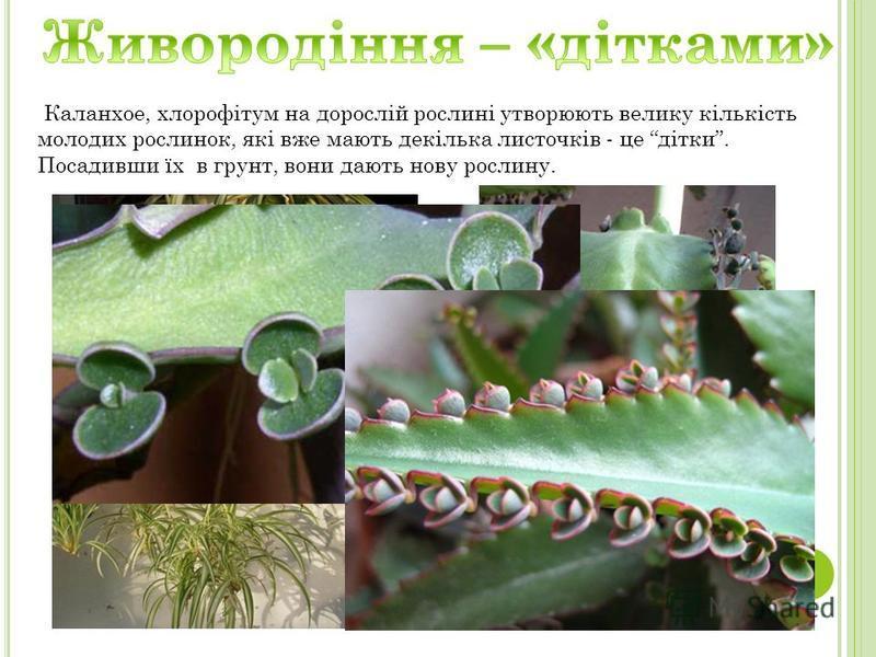 Каланхое, хлорофітум на дорослій рослині утворюють велику кількість молодих рослинок, які вже мають декілька листочків - це дітки. Посадивши їх в грунт, вони дають нову рослину.