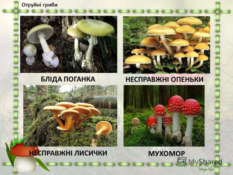 Отруйні гриби БЛІДА ПОГАНКА НЕСПРАВЖНІ ОПЕНЬКИ НЕСПРАВЖНІ ЛИСИЧКИ МУХОМОР