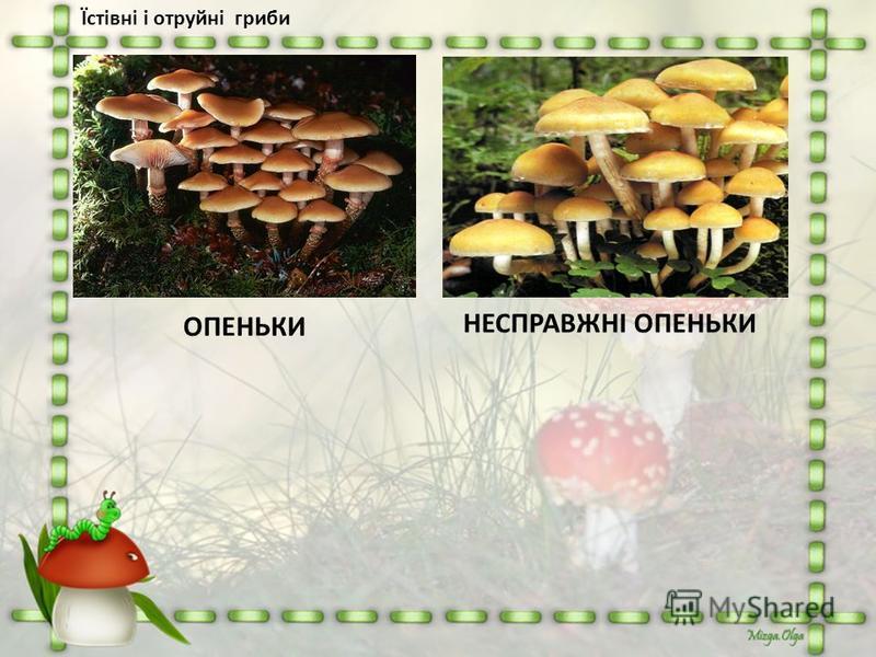 Їстівні і отруйні гриби НЕСПРАВЖНІ ОПЕНЬКИ ОПЕНЬКИ