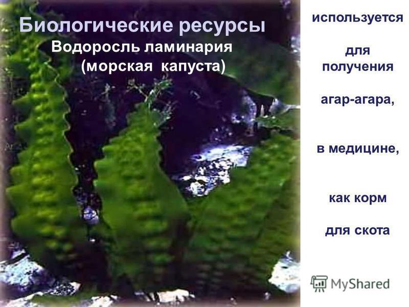 Биологические ресурсы Водоросль ламинария (морская капуста) используется для получения агар-агара, в медицине, как корм для скота