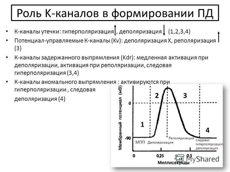 1 23 4 Роль K-каналов в формировании ПД К-каналы утечки: гиперполяризация, деполяризация (1,2,3,4) Потенциал-управляемые К-каналы (Kv): деполяризация Х, реполяризация (3) К-каналы задержанного выпрямления (Kdr): медленная активация при деполяризации,