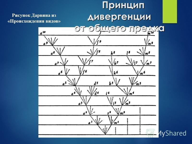 Рисунок Дарвина из «Происхождения видов» Принцип дивергенции от общего предка Принцип дивергенции от общего предка