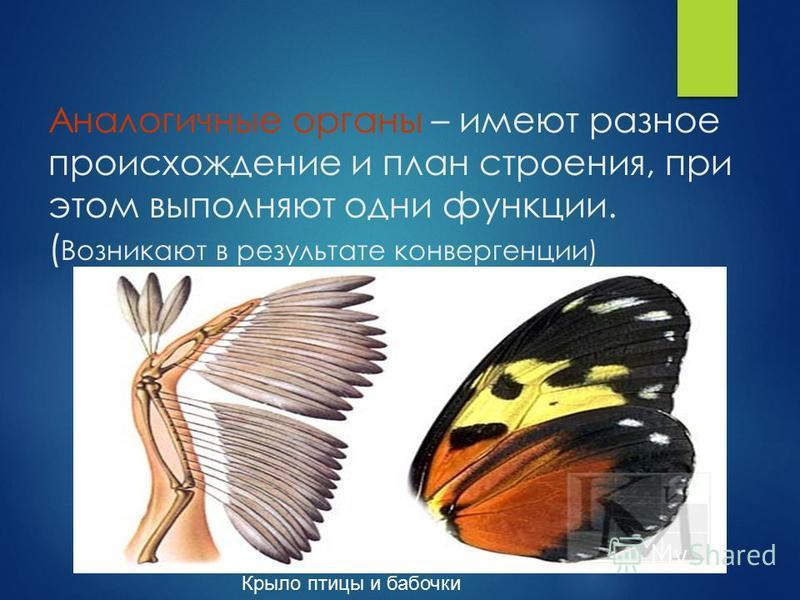 Аналогичные органы – имеют разное происхождение и план строения, при этом выполняют одни функции. ( Возникают в результате конвергенции) Крыло птицы и бабочки