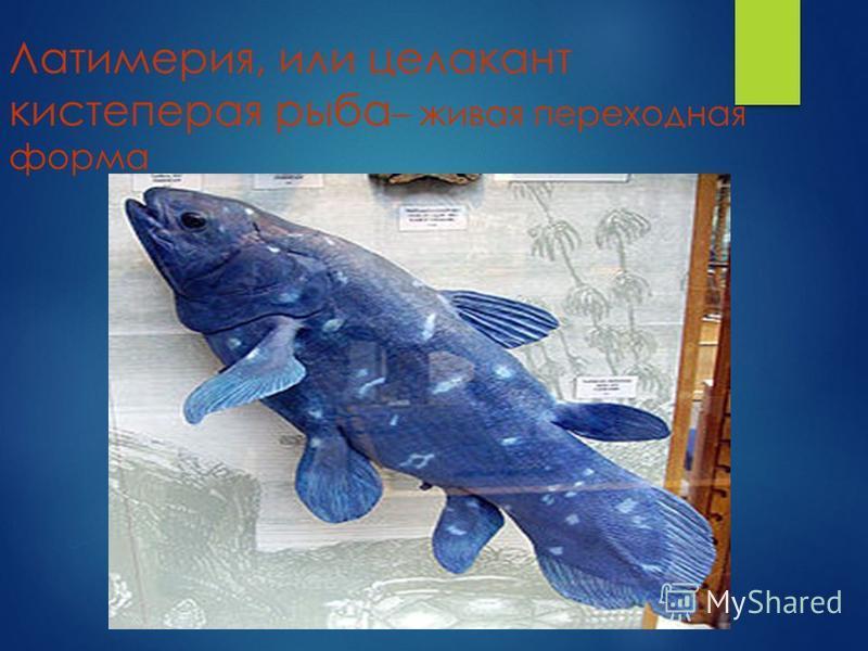 Латимерия, или целакант кистеперая рыба – живая переходная форма