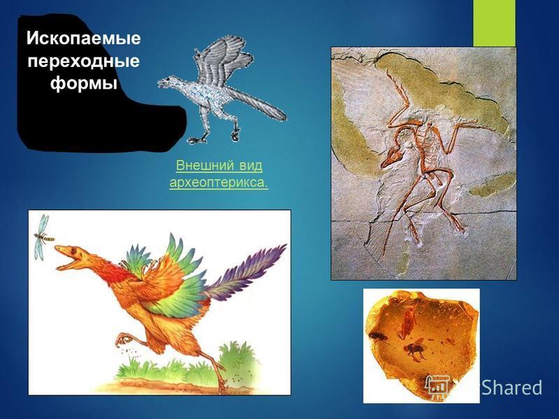 Внешний вид археоптерикса. Ископаемые переходные формы
