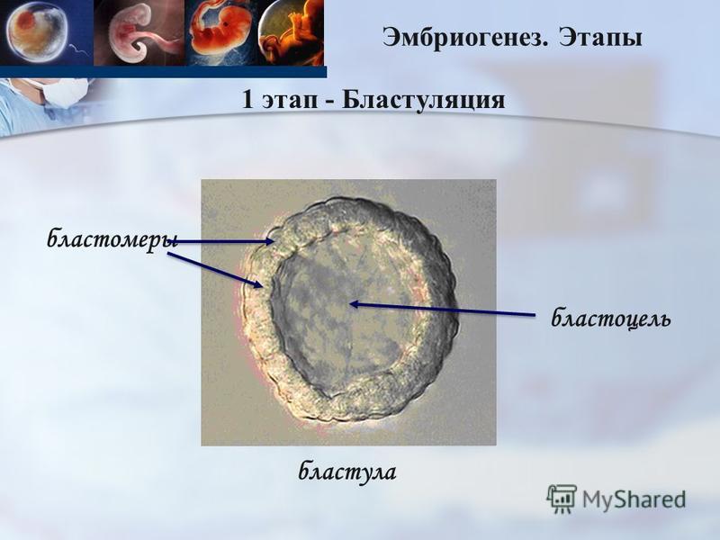 Эмбриогенез. Этапы 1 этап - Бластуляция бластула бластомеры бластоцель