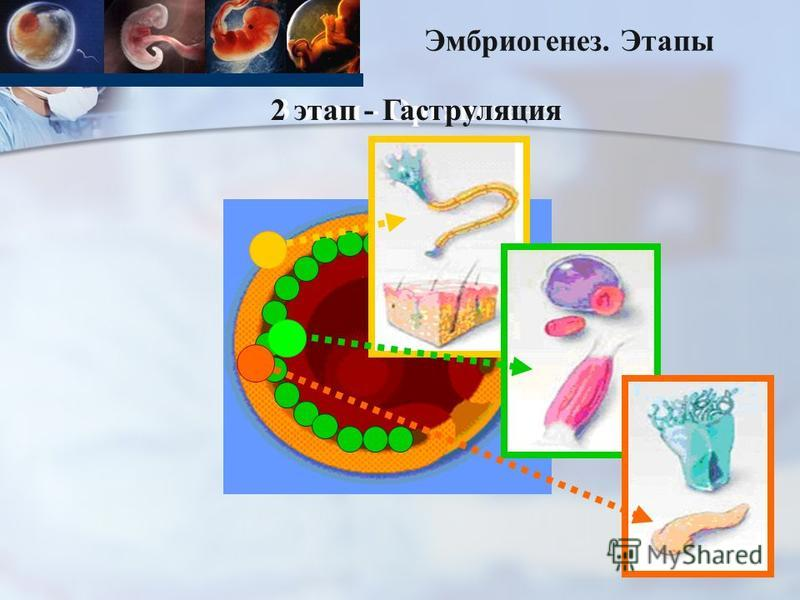 Эмбриогенез. Этапы 3 этап - Органогенез 2 этап - Гаструляция