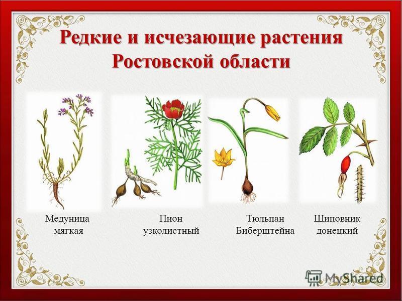Редкие и исчезающие растения Ростовской области Медуница мягкая Пион узколистный Шиповник донецкий Тюльпан Биберштейна