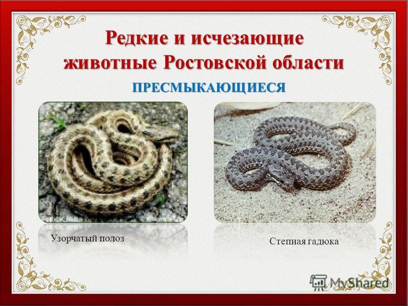 Редкие и исчезающие животные Ростовской области Узорчатый полоз Степная гадюка ПРЕСМЫКАЮЩИЕСЯ