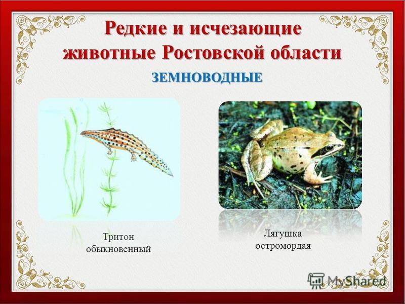 Редкие и исчезающие животные Ростовской области Тритон обыкновенный ЗЕМНОВОДНЫЕ Лягушка остромордая