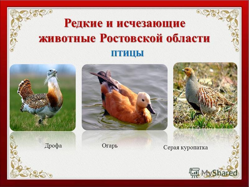 Редкие и исчезающие животные Ростовской области Дрофа Серая куропатка ПТИЦЫ Огарь