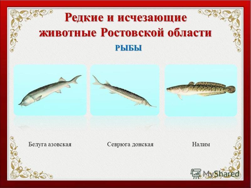 Редкие и исчезающие животные Ростовской области Белуга азовская РЫБЫ Севрюга донская Налим
