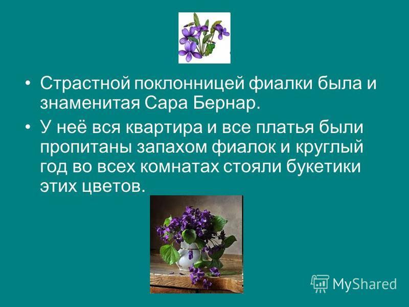 Страстной поклонницей фиалки была и знаменитая Сара Бернар. У неё вся квартира и все платья были пропитаны запахом фиалок и круглый год во всех комнатах стояли букетики этих цветов.