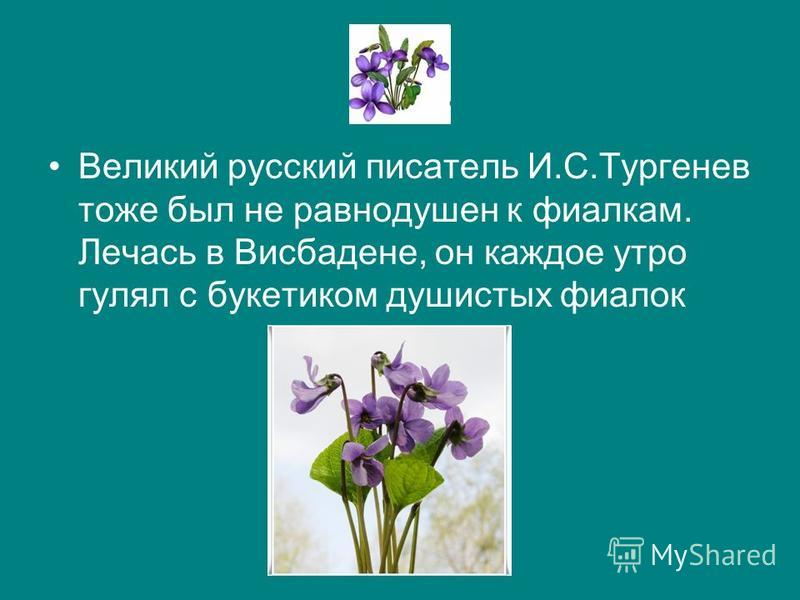 Великий русский писатель И.С.Тургенев тоже был не равнодушен к фиаелкам. Лечась в Висбадене, он каждое утро гулял с букетиком душистых фиалок