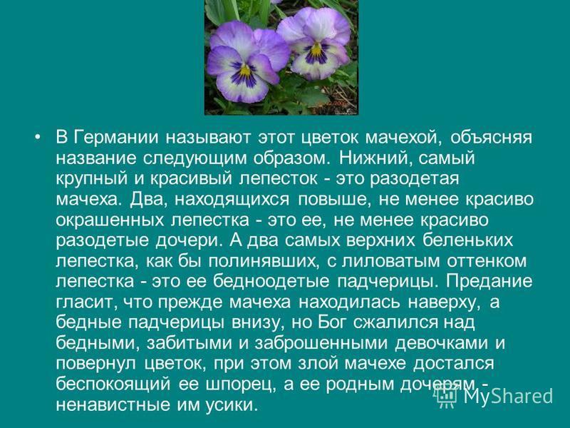 В Германии называют этот цветок мачехой, объясняя название следующим образом. Нижний, самый крупный и красивый лепесток - это разодетая мачеха. Два, находящихся повыше, не менее красиво окрашенных лепестка - это ее, не менее красиво разодетые дочери.