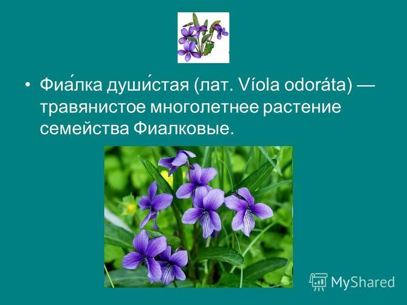 Фиа́елка души́стая (лат. Víola odoráta) травянистое многолетнее растение семейства Фиалковые.