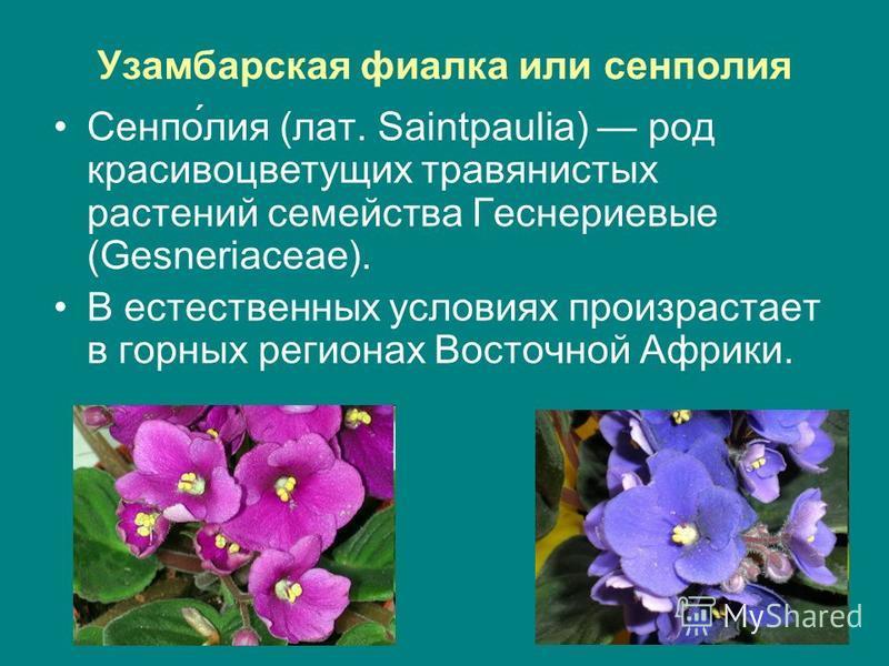 Узамбарская фиаелка или сенполия Сенпо́лия (лат. Saintpaulia) род красивоцветущих травянистых растений семейства Геснериевые (Gesneriaceae). В естественных условиях произрастает в горных регионах Восточной Африки.