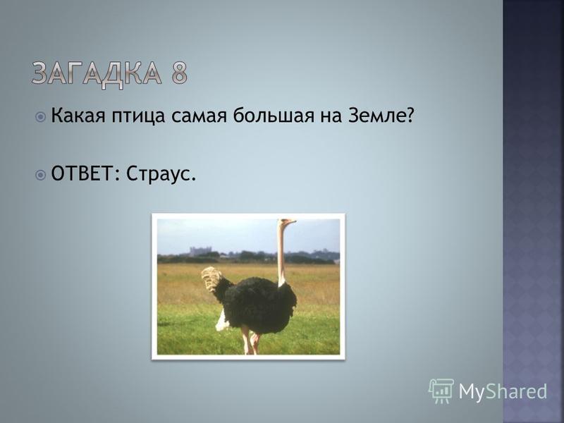 Какая птица самая большая на Земле? ОТВЕТ: Страус.