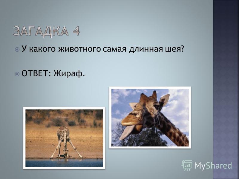 У какого животного самая длинная шея? ОТВЕТ: Жираф.