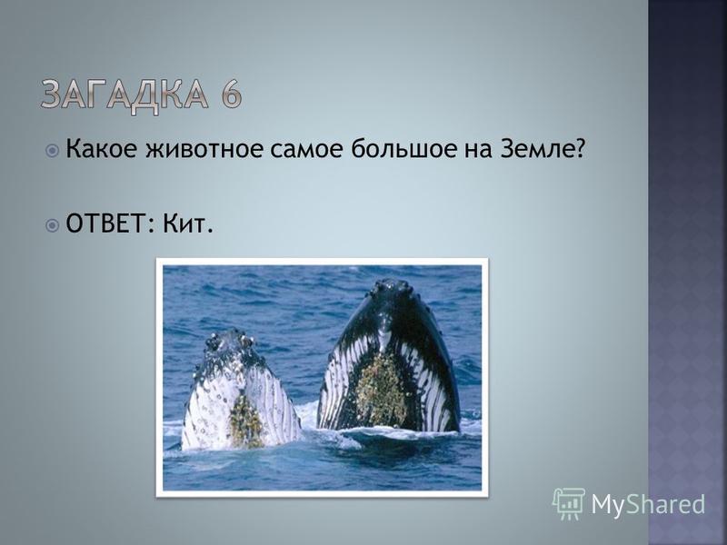 Какое животное самое большое на Земле? ОТВЕТ: Кит.
