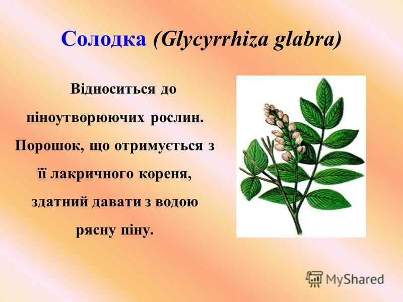 Солодка (Glycyrrhiza glabra) Відноситься до піноутворюючих рослин. Порошок, що отримується з її лакричного кореня, здатний давати з водою рясну піну.