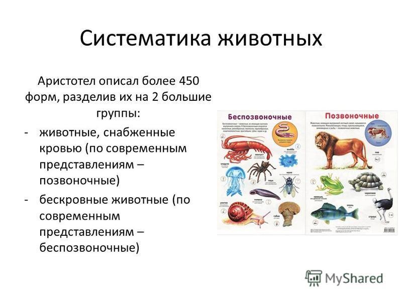 Систематика животных Аристотел описал более 450 форм, разделив их на 2 большие группы: -животные, снабженные кровью (по современным представлениям – позвоночные) -бескровные животные (по современным представлениям – беспозвоночные)