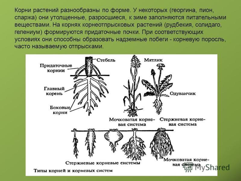 Корни растений разнообразны по форме. У некоторых (георгина, пион, спаржа) они утолщенные, разросшиеся, к зиме заполняются питательными веществами. На корнях корнеотпрысковых растений (рудбекия, солидаго, гелениум) формируются придаточные почки. При