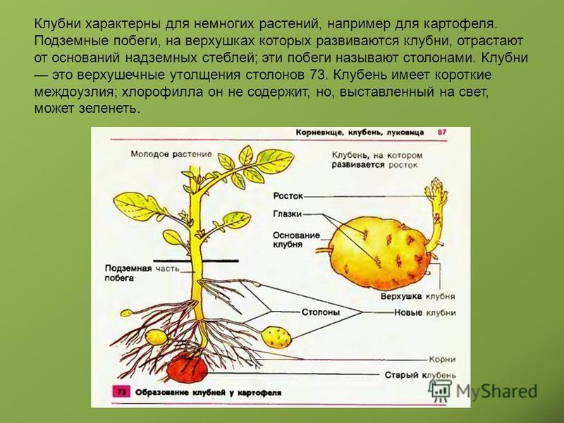 Клубни характерны для немногих растений, например для картофеля. Подземные побеги, на верхушках которых развиваются клубни, отрастают от оснований надземных стеблей; эти побеги называют столонами. Клубни это верхушечные утолщения столонов 73. Клубень