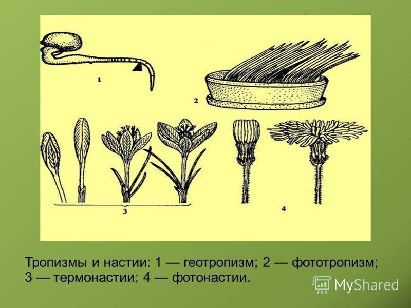 Тропизмы и настии: 1 геотропизм; 2 фототропизм; 3 термонастии; 4 фотонастии.