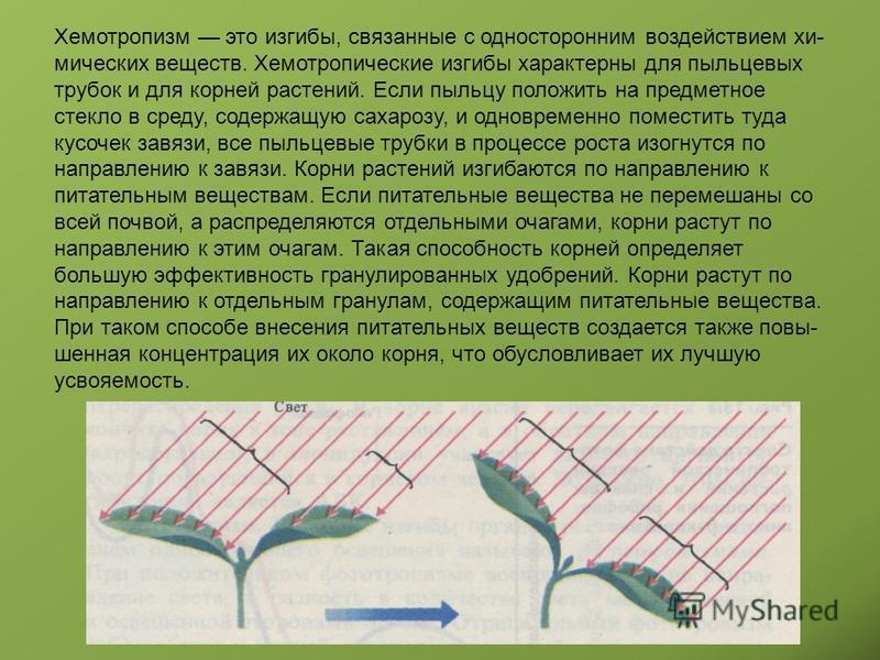 Хемотропизм это изгибы, связанные с односторонним воздействием хи мических веществ. Хемотропические изгибы характерны для пыльцевых трубок и для корней растений. Если пыльцу положить на предметное стекло в среду, содержащую сахарозу, и одновременно