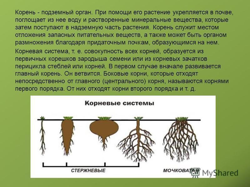 Корень - подземный орган. При помощи его растение укрепляется в почве, поглощает из нее воду и растворенные минеральные вещества, которые затем поступают в надземную часть растения. Корень служит местом отложения запасных питательных веществ, а также