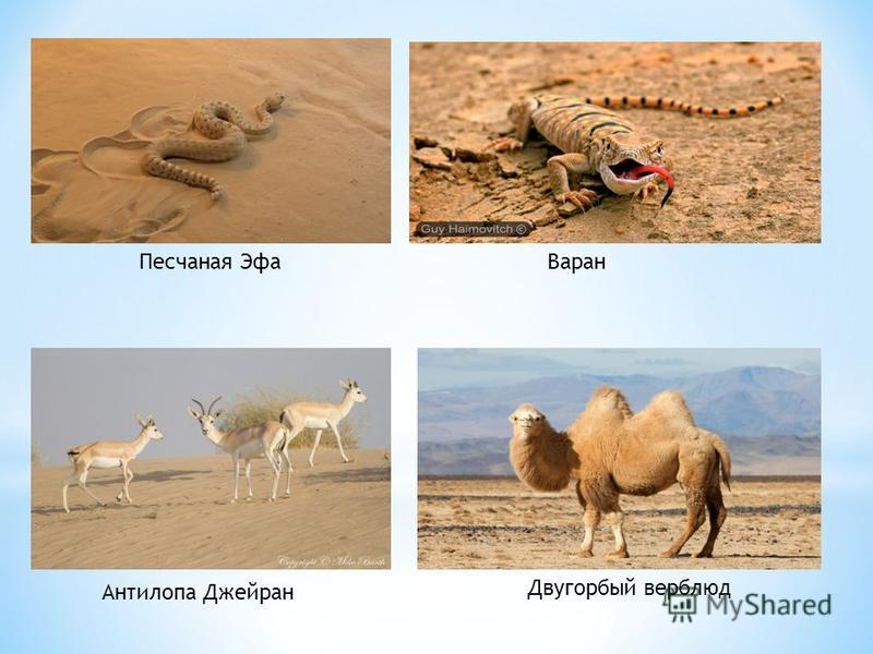 Песчаная Эфа Варан Антилопа Джейран Двугорбый верблюд