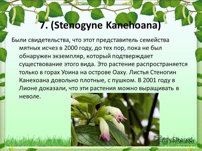 7. (Stenogyne Kanehoana) Были свидетельства, что этот представитель семейства мятных исчез в 2000 году, до тех пор, пока не был обнаружен экземпляр, который подтверждает существование этого вида. Это растение распространяется только в горах Уоина на