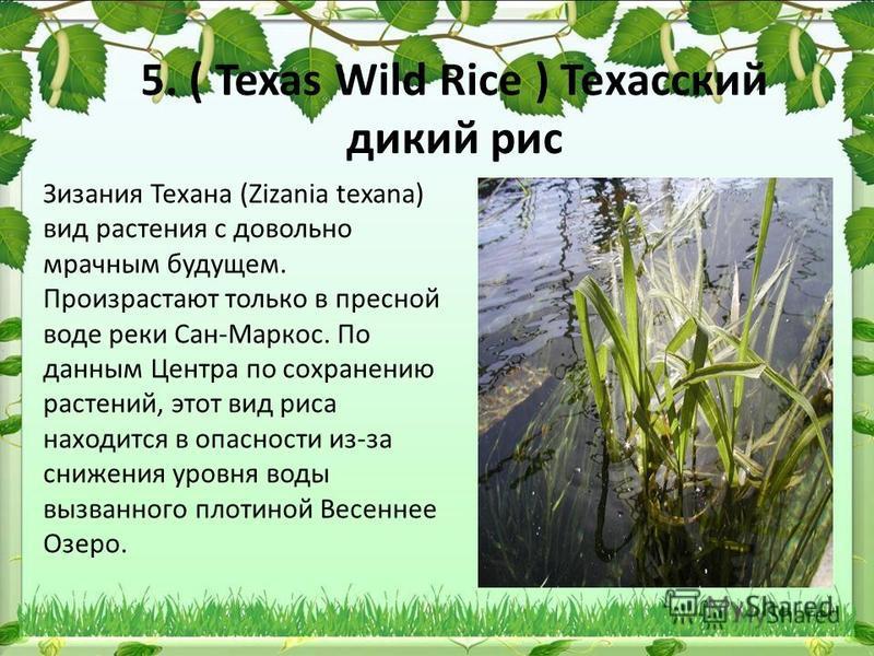 5. ( Texas Wild Rice ) Техасский дикий рис Зизания Техана (Zizania texana) вид растения с довольно мрачным будущем. Произрастают только в пресной воде реки Сан-Маркос. По данным Центра по сохранению растений, этот вид риса находится в опасности из-за