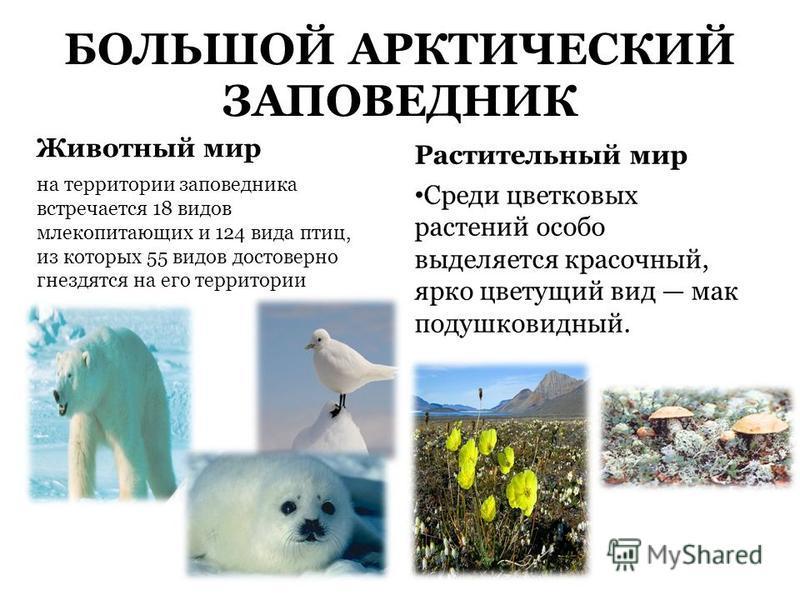 БОЛЬШОЙ АРКТИЧЕСКИЙ ЗАПОВЕДНИК Животный мир на территории заповедника встречается 18 видов млекопитающих и 124 вида птиц, из которых 55 видов достоверно гнездятся на его территории Растительный мир Среди цветковых растений особо выделяется красочный,