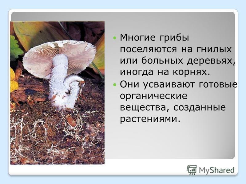 Многие грибы поселяются на гнилых или больных деревьях, иногда на корнях. Они усваивают готовые органические вещества, созданные растениями.