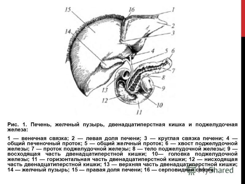 Рис. 1. Печень, желчный пузырь, двенадцатиперстная кишка и поджелудочная железа: 1 венечная связка; 2 левая доля печени; 3 круглая связка печени; 4 общий печеночный проток; 5 общий желчный проток; 6 хвост поджелудочной железы; 7 проток поджелудочной