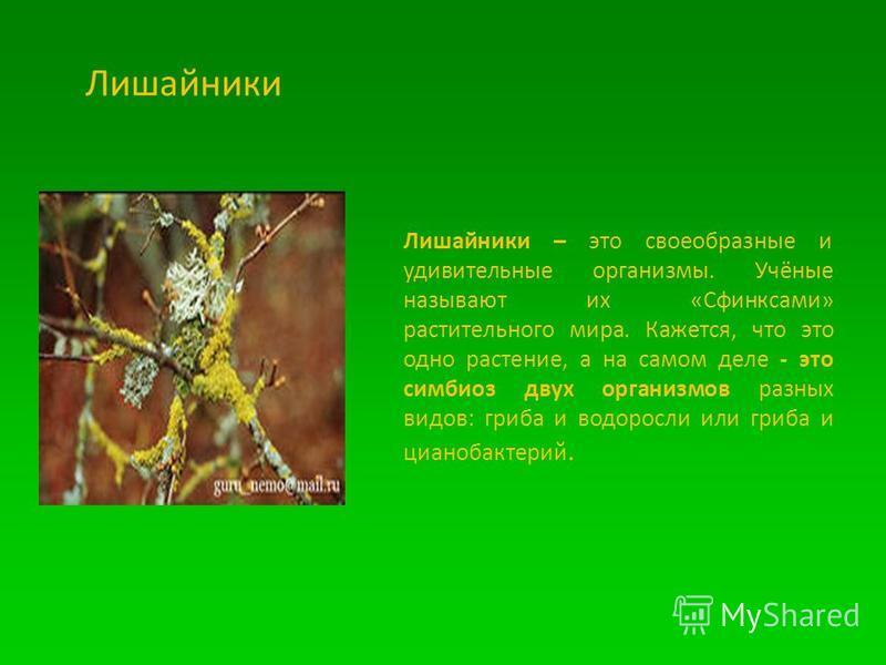 Лишайники Лишайники – это своеобразные и удивительные организмы. Учёные называют их «Сфинксами» растительного мира. Кажется, что это одно растение, а на самом деле - это симбиоз двух организмов разных видов: гриба и водоросли или гриба и цианобактери