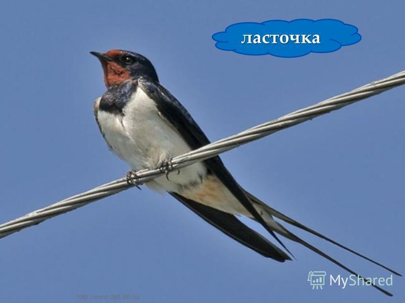 Внешний вид. Мельче вороны, буровато-серая с коротким круглым хохлом. Крылья, хвост и усы черные, горло, надхвостье и пятна на крыльях белые, на сгибе крыла ярко-голубое с черными полосками зеркальце. Очень подвижная, шумная птица. Полет тяжелый, с ч