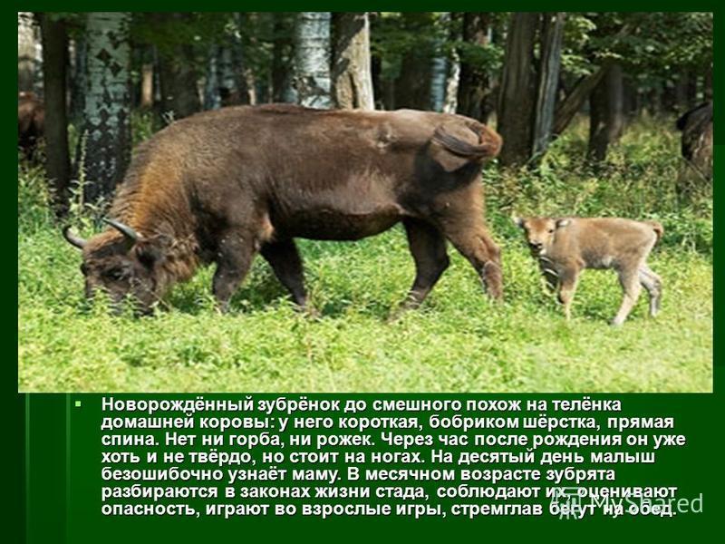 Зубра относят к роду быков. Это массивное животное весом 800 – 900 кг. Туловище зубра длиной около трёх метров, с мощной передней частью, образующей горб. Круто загнутые, направленные вершинами вверх рога невелики. Зубра относят к роду быков. Это мас