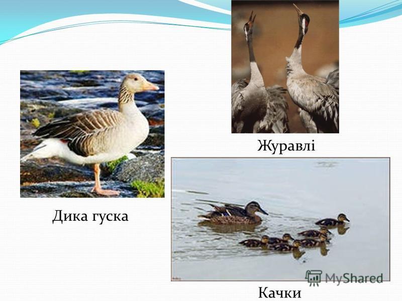Дика гуска Журавлі Качки