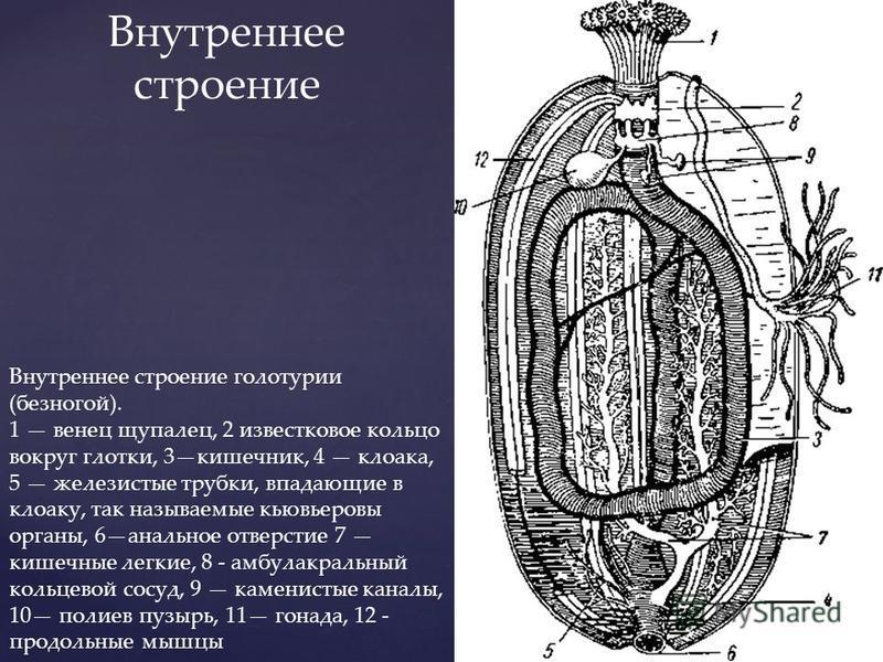 Внутреннее строение голотурио (безногой). 1 венец щупалец, 2 известковое кольцо вокруг глотки, 3 кишечник, 4 клоака, 5 железистые трубки, впадающие в клоаку, так называемые кювьеровы органы, 6 анальное отверстие 7 кишечные легкие, 8 - амбулакральный