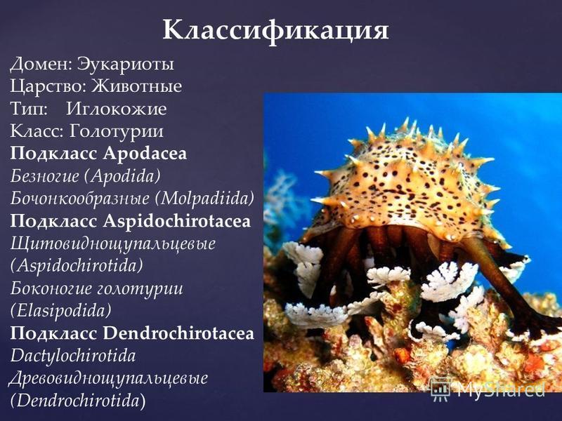 Классификация Домен: Эукариоты Царство: Животные Тип: Иглокожие Класс: Голотурио Подкласс Apodacea Безногие (Apodida) Бочонкообразные (Molpadiida) Подкласс Aspidochirotacea Щитовиднощупальцевые (Aspidochirotida) Боконогие голотурио (Elasipodida) Подк