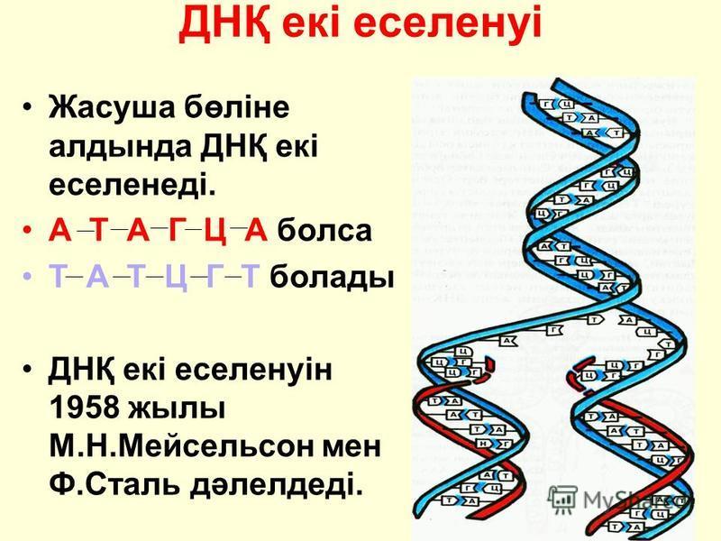ДНҚ екі еселенуі Жасуша бөліне алдында ДНҚ екі еселенеді. А Т А Г Ц А болса Т А Т Ц Г Т болады ДНҚ екі еселенуін 1958 жылы М.Н.Мейсельсон мен Ф.Сталь дәлелдеді.