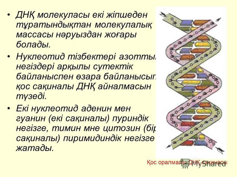 ДНҚ молекуласы екі жіпшеден тұратындықтан молекулалық массасы нәруыздан жоғары болады. Нуклеотид тізбектері азоттық негіздері арқылы сутектік байланыспен өзара байланысып, қос сақиналы ДНҚ айналмасын түзеді. Екі нуклеотид аденин мен гуанин (екі сақин