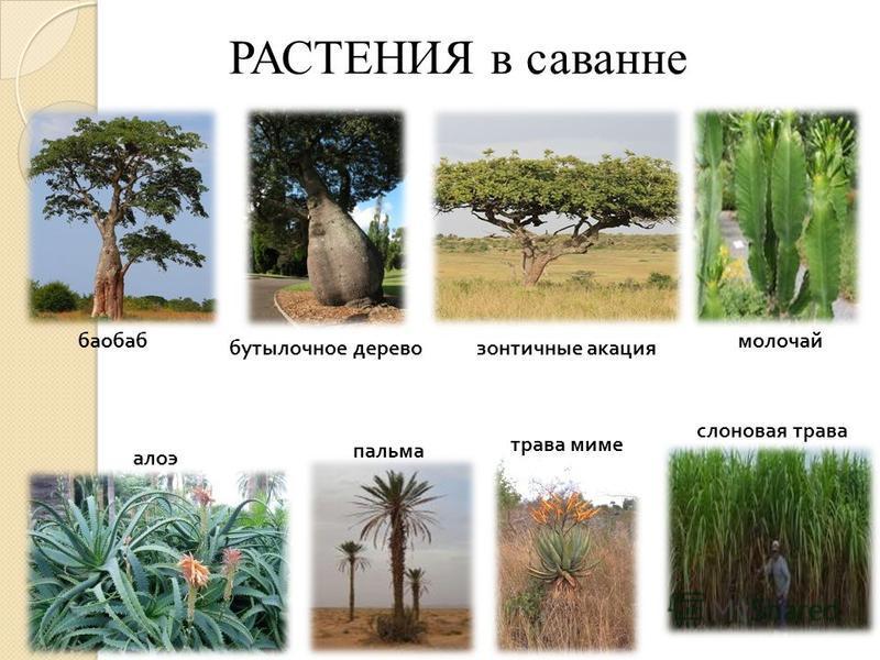 РАСТЕНИЯ в саванне баобаб зонтичные акация бутылочное дерево молочай алоэ пальма трава миме слоновая трава