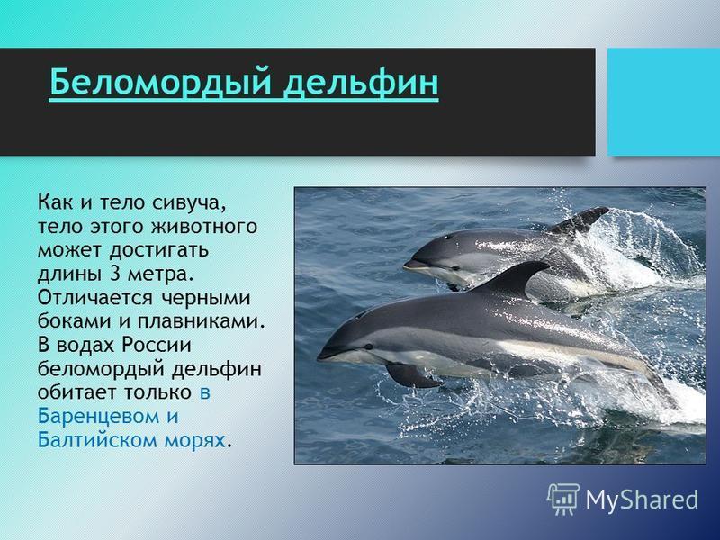 Беломордый дельфин Как и тело сивуча, тело этого животного может достигать длины 3 метра. Отличается черными боками и плавниками. В водах России беломордый дельфин обитает только в Баренцевом и Балтийском морях.